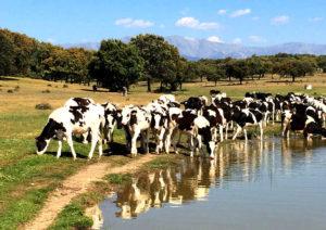 Navalcán - Embalse y vacas frisonas